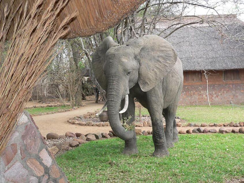 Thornicroft's Safari